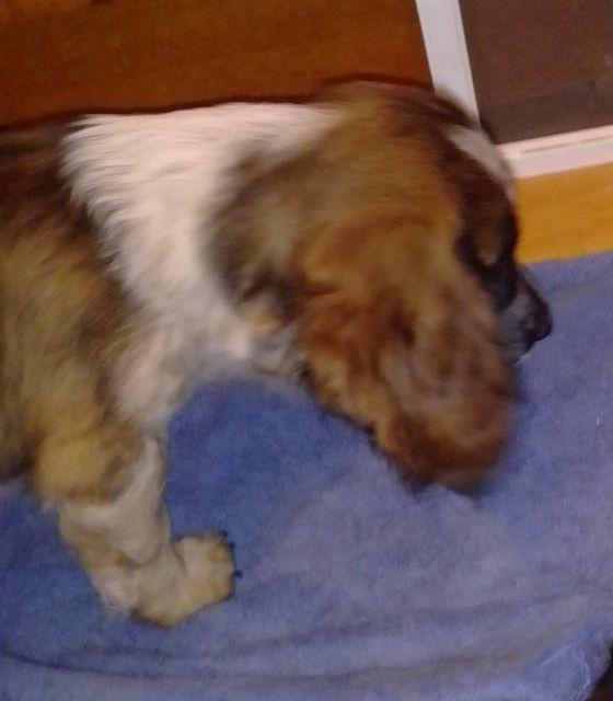 Спаниель-метис, щенок 2.5 месяца. Привит. Одесса - изображение 1