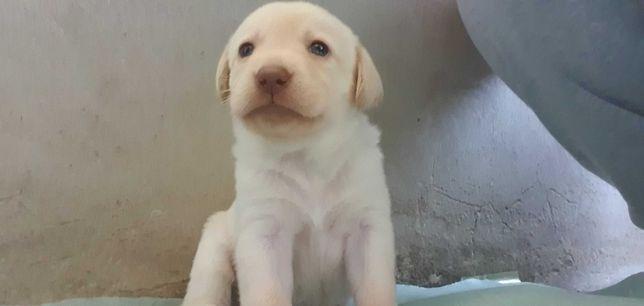 Labrador Retrivier Branco Puro