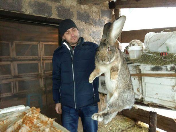 Продам кроликов ,Бельгийский великан
