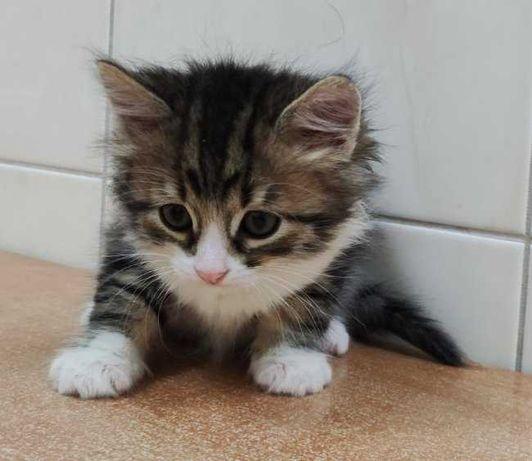 котичок пухнастий сибірячок 2м