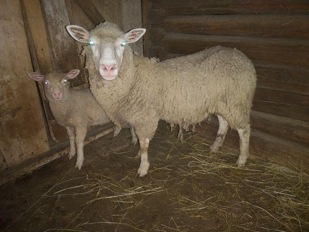 Owca owce ile de France