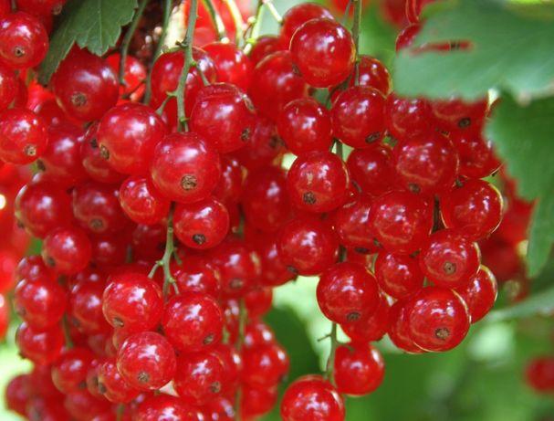 Sadzonki porzeczki czerwonej na plantacje