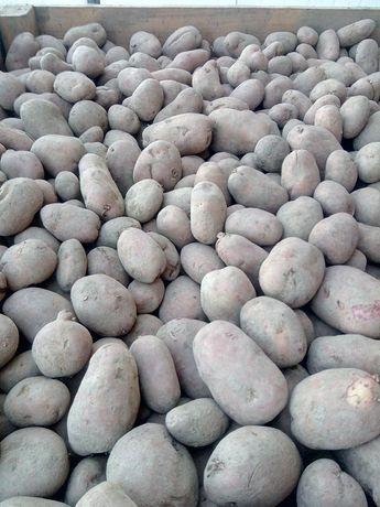 Sprzedam ziemniaki Ricarda