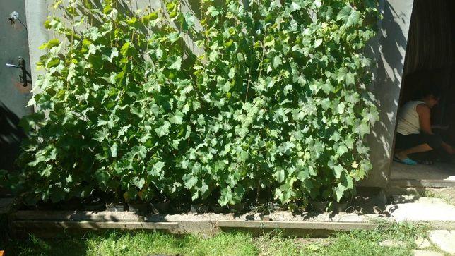 Саженцы винограда одно и двухлетние. Закрытая корневая.