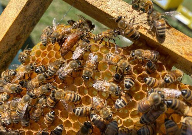 Пчелы Карпатки. От лучших семей. С апреля-октябрь. Пчеломатки.