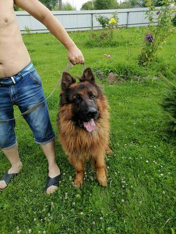 Вязка собак німецька вівчарка