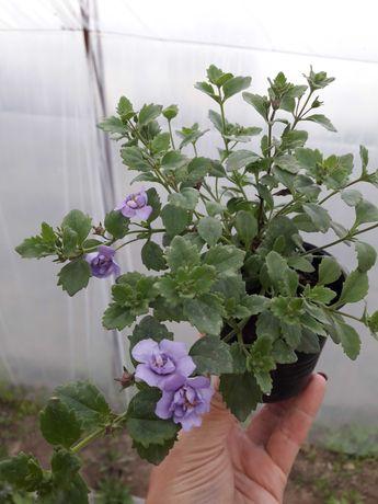 Продам бакопу махровую голубую ( ампельное растение)