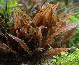 Cryptocoryne wendtii z niedużymi czerwono-brązowymi liść