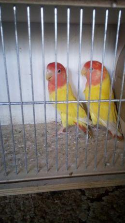 Nierozłączki czerwonoczelne papugi