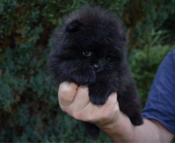 Bambino śliczny kruczo czarny chłopczyk pomeranian Szpic miniaturowy