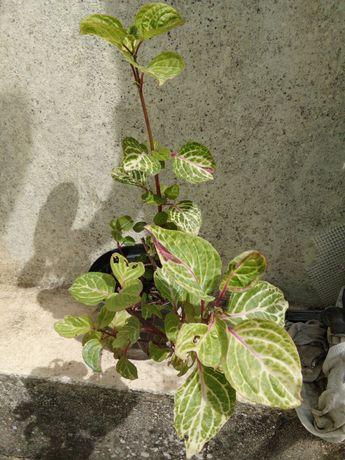 Vendo planta em vaso de interior ou exterior