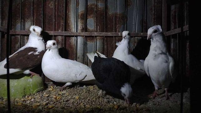 Sprzedam gołębie ozdobne różne