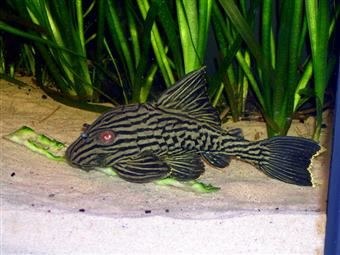 Glonojad Panaqua Nigrolineatus L191 10 cm