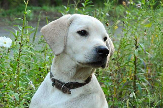 щенок лабрадора продам