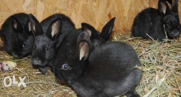 Кролі, молодняк Кицмань - изображение 1
