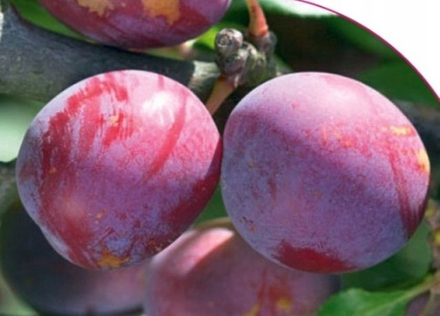 HERBARIUSZ - Śliwa renkloda Althana - Duże owoce, soczysta deserowa
