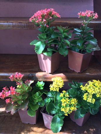 """Красивые яркие цветы , """"каланхое"""""""