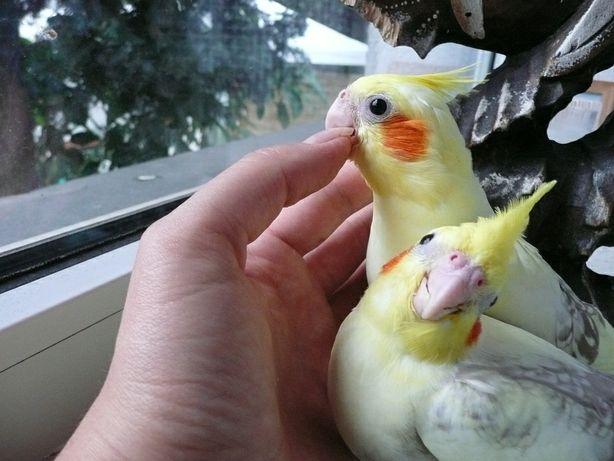 Nimfy oswojone papugi ręcznie karmione NIMFA