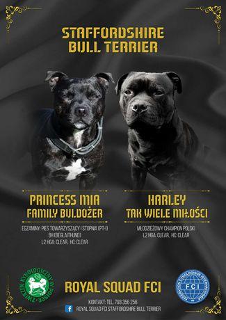Staffik , Staffordshire Bull Terrier - chłopiec