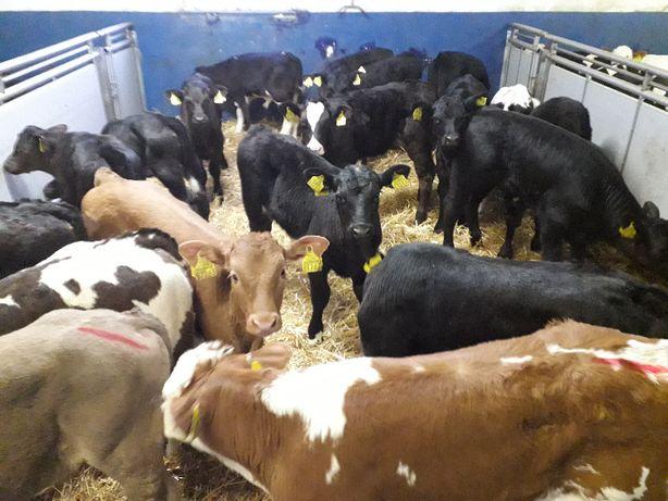 W sprzedaży cielęta, byczki i jałóweczki, Mięsne, HF, NCB w wadze 60k