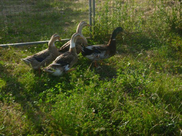 Patos e patinhos rouen