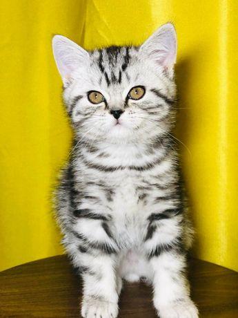 Мраморные шотландские котята Британи и Бенджамин