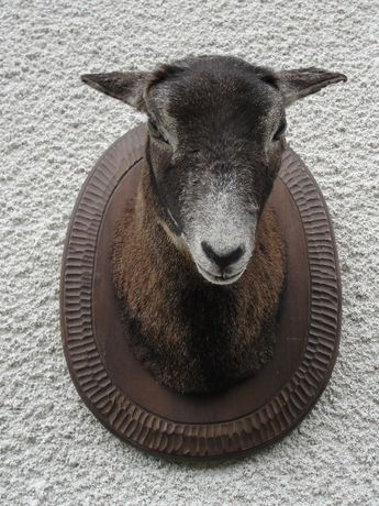 muflon medalion / spreparowany / wypchany
