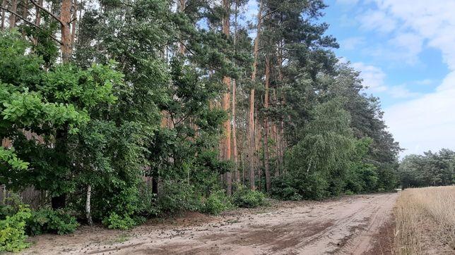 Sprzedam las sosnowy 50-letni 3.5 ha