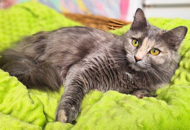 Лея-розумниця, попеляста кішка, 1 рік, стерилізована