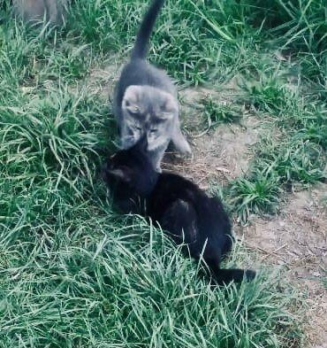 Отдам в добрые руки котенка-крысолова 2,5мес