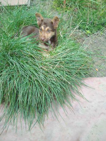 щенок-песик хороший охранник