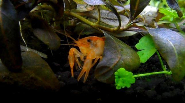 """Raczki Orange, mini raczek CPO Cambarellus Patzcuaro """"Orange"""" wysylka"""