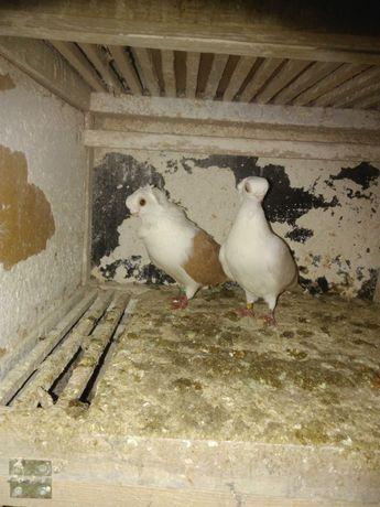 Gołębie  para mewek