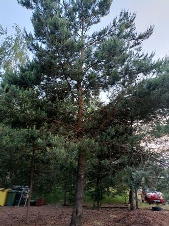 Oddam za darmo drzewo z wycinki