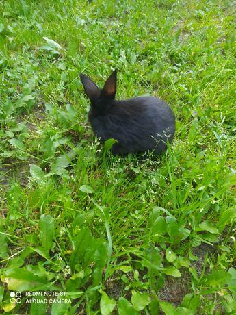 Królik  królik maly