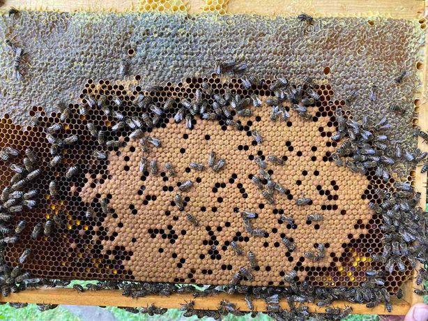 Бджолопакети з власної пасіки