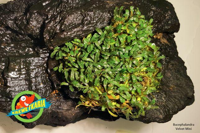 Roślina Bucephalandra Mini Velvet - 1 sadzonka lub kilka w kępie!