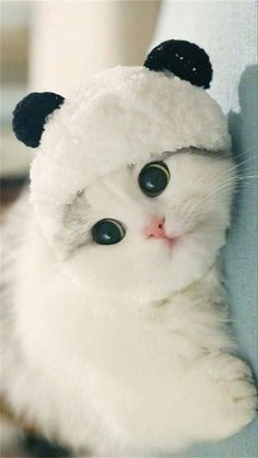 Котенок вислоухий скоттиш фолд