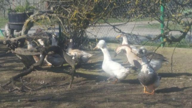 Kaczki czubatki- jajka (przyjmę zamówienia)