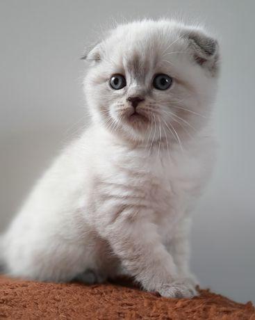 Шотландские котята с документами WCF