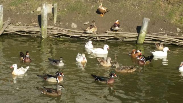 Kaczki karolinki