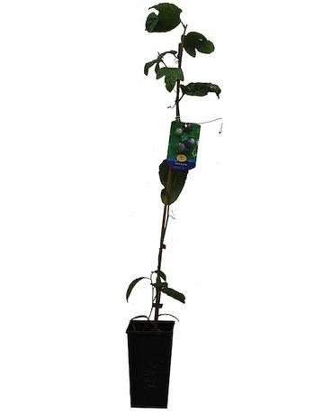 Arvore de fruto - maracujá