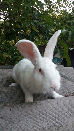 Продам кролики, королі, кролі