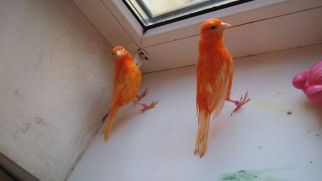 Канарейки красные