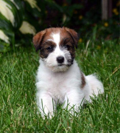 Sunia Jack Russell Terrier ZKwP REZERWACJA