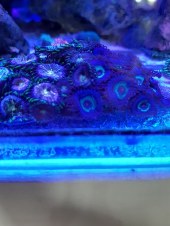 Koralowce Wow Paly