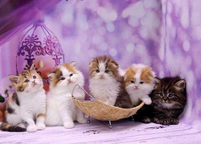 Красочные шотландские котята