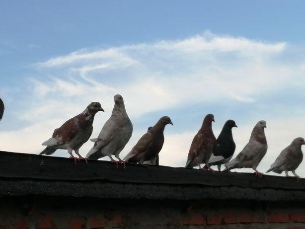 Gołębie 16 sztuk gołębie ozdobne jak pocztowe