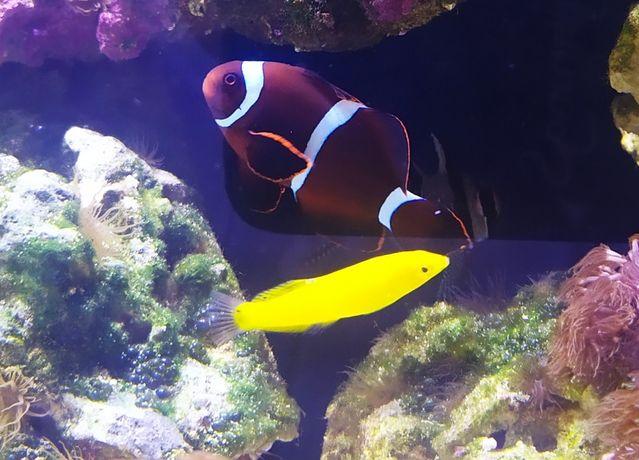 Premnas biaculeatus akwarium morskie REZERWACJA do niedzieli