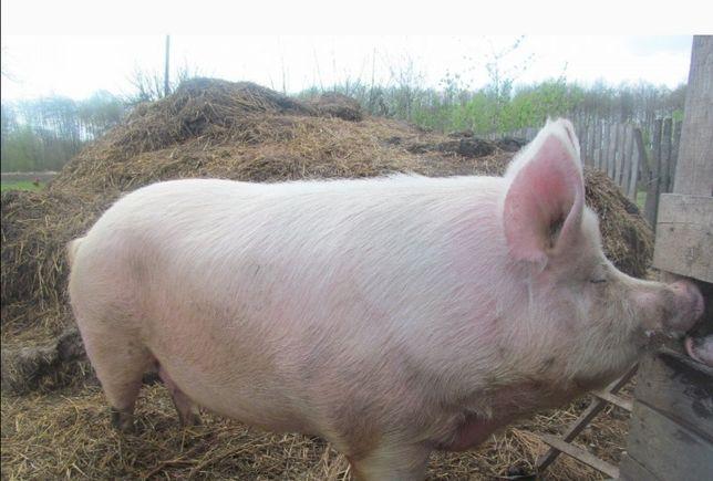 Свиня домашнього годування